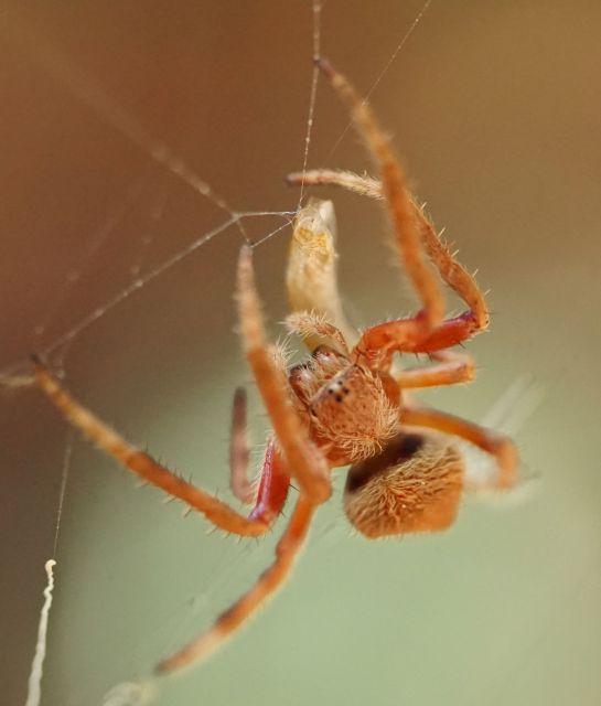 orange spider 2 - 11 December 2014