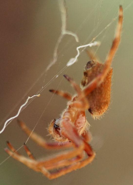 orange spider 3 - 11 December 2014