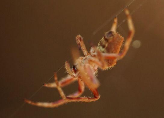 orange spider 6 - 11 December 2014