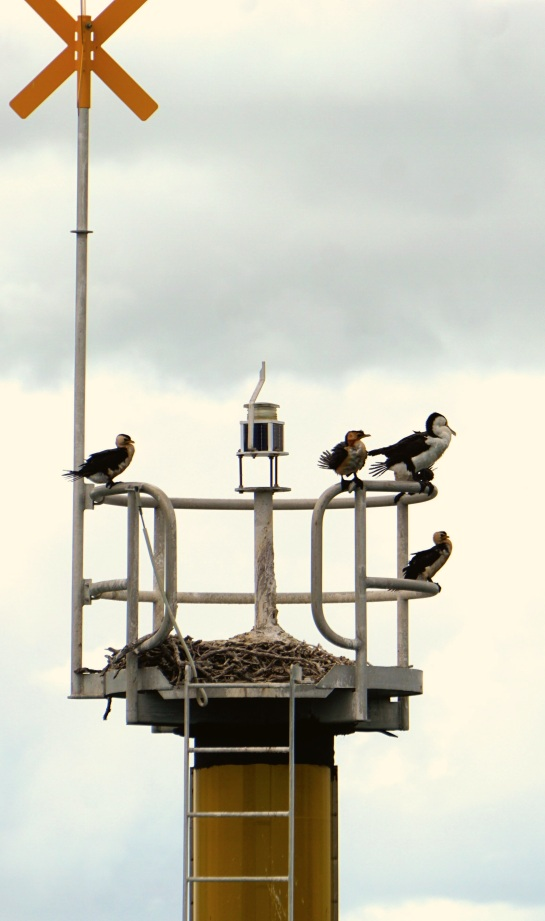 Cormorants - 21 Jan 2015 - Moreton Bay