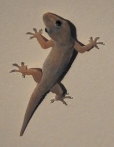 gecko 5