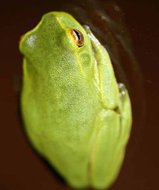green tree frog - 19 Jan 2014 - stormy night