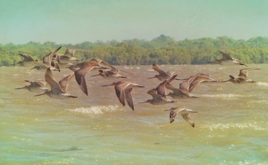 shore birds 2 - 29 Jan 2015 - ancient and pacific