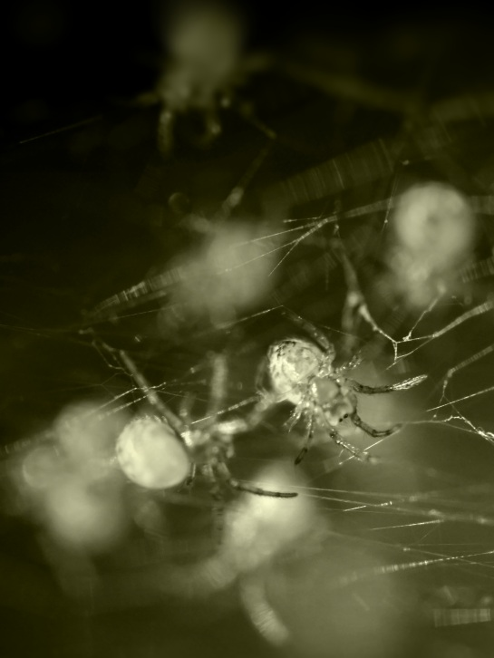 Baby spiders 4 - Aged