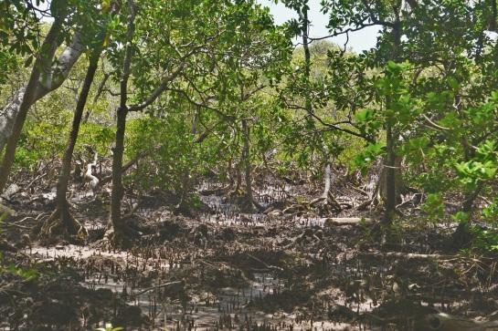 Coochiemudlo Island - mangroves