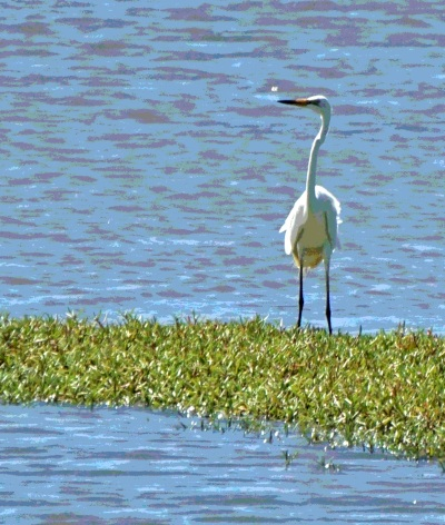 egret - Posterize