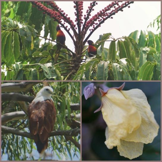 Lorikeets, kite and hibiscus variant - Coochiemudlo Island