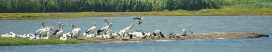 Port of Brisbane - pelicans and cormorants