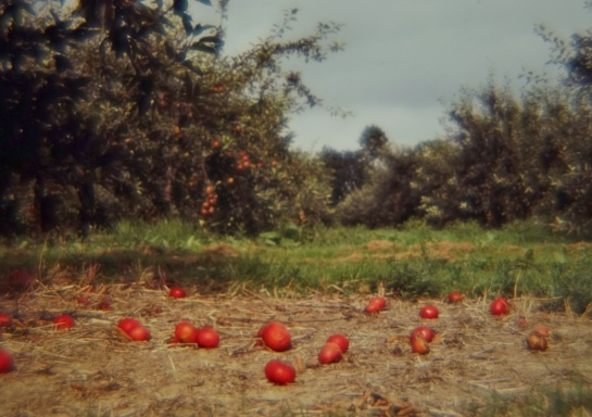 Slides - apple orchard - Kent 1980