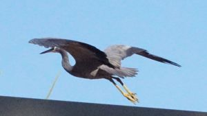 white-faced heron - departure