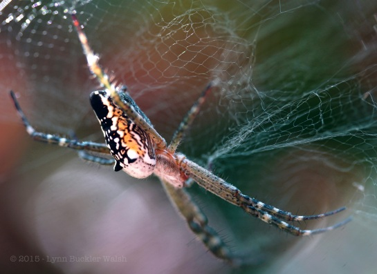 Dome spider - from beneath with web - Hue Red - watermarked-1