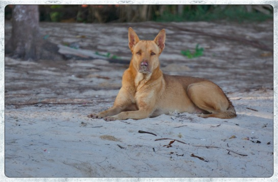 Dog on Nai Yang Beach - 28 April 2015