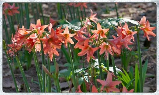 Lilies in the park - Nai Yang Beach