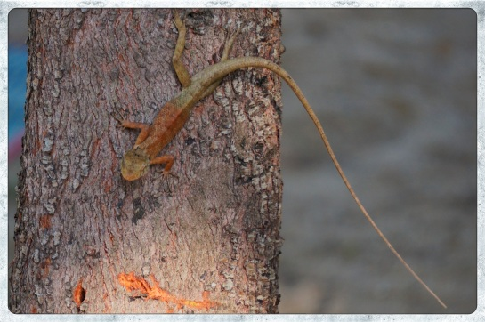 Lizard - Nai Yang beach - 30 April 2015