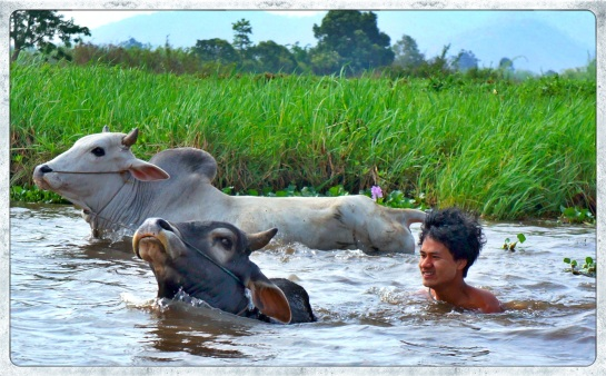 Cattle swimming - Inle Lake