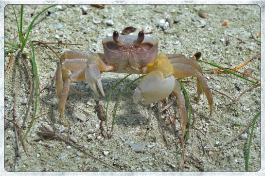 Crab - Meeru Island