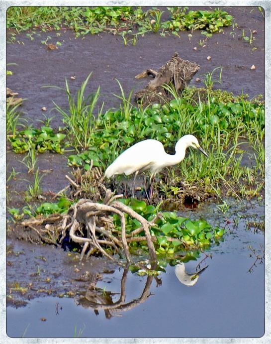 Egret - Inle Lake