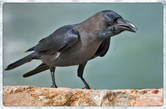 Galle - crow on the ramparts