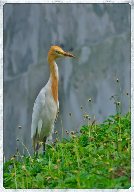 Galle Fort - egret 1