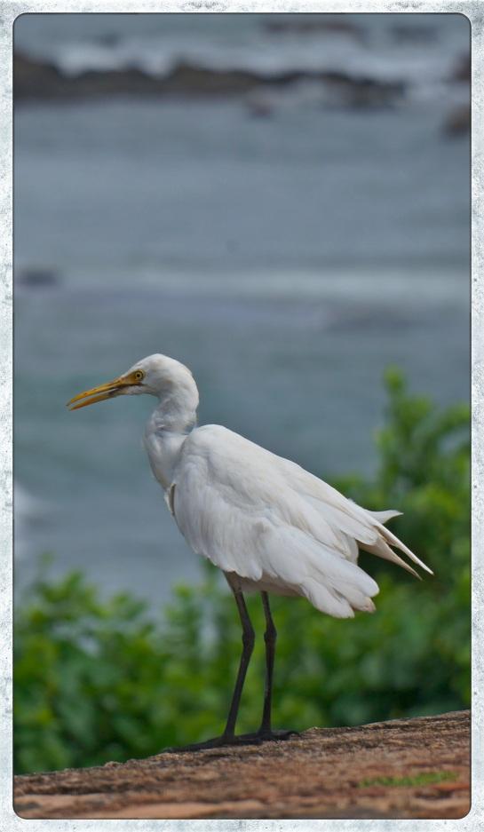 Galle Fort - egret 2