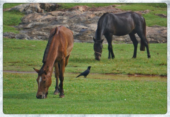 Galle Fort - horses grazing
