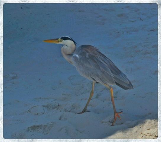 Heron on Meeru Island