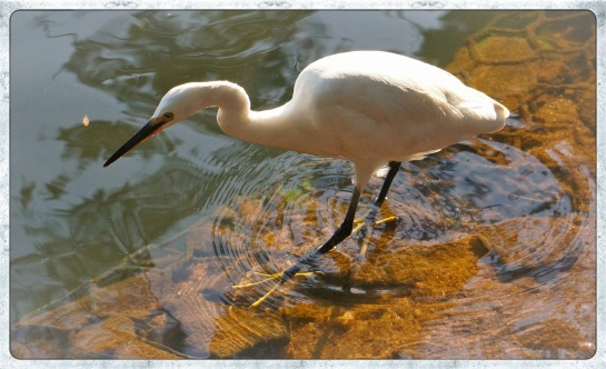 Kandy - egret on the lake 3