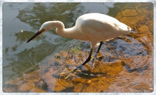 Kandy - egret on the lake 3