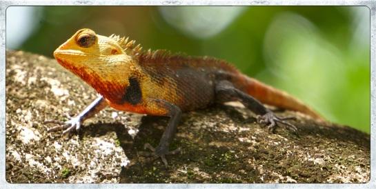 Lizard - Maldives - Meeru Island 1