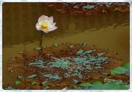 Lotus flower - Inle Lake
