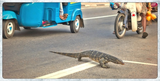 Monitor crossing road - Pollonaruwa, Sri Lanka