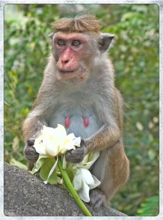 monkey and lotus flower - Dambulla