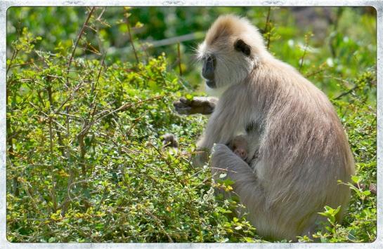 Monkey with baby - feeding