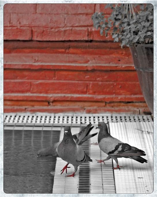 Pigeons Zfreeti Hotel