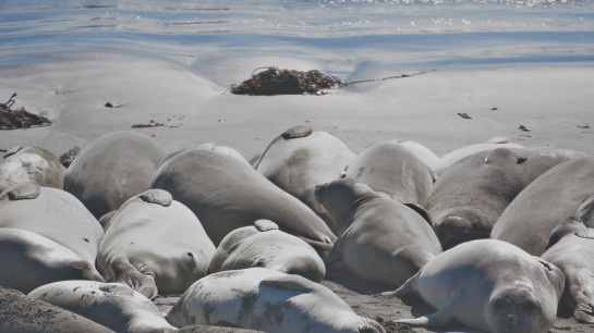 Elephant seals 1