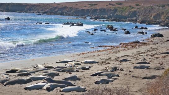 Elephant seals 3