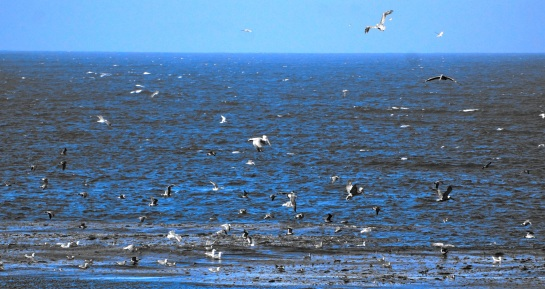 Point Lobos CA - feeding fest for gulls and pelicans