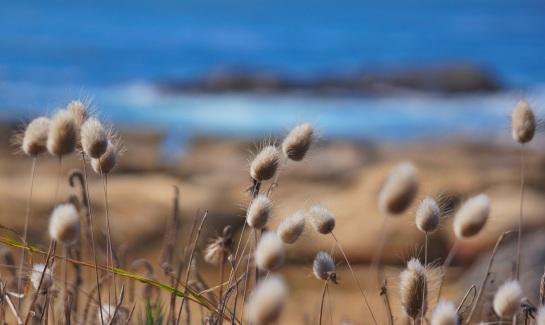 Point Lobos CA - grasses