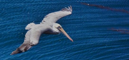 Point Lobos CA - pelican