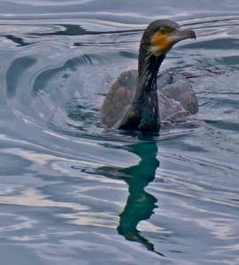 Bosphorous - 1 - Cormorant