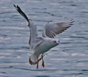 Bosphorous 2 - gull
