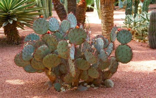 Cacti in Jardin Majorelle