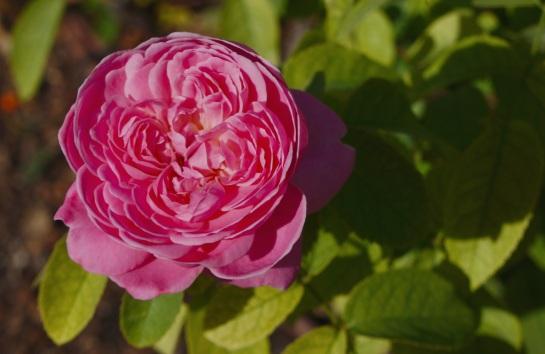 Roseleda 3