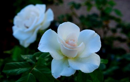 Roseleda 4
