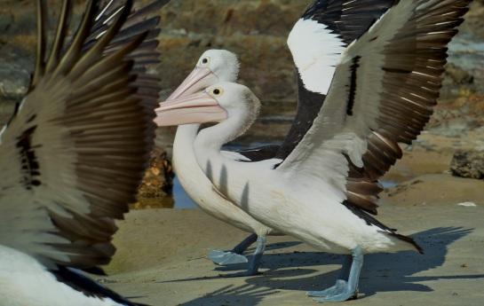 Pelicans Brooms Head 1 - Crystal River