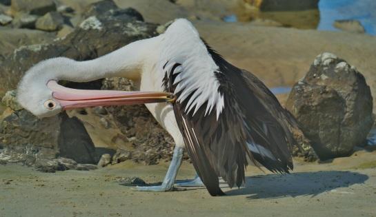 Pelicans Brooms Head 2 - Crystal River