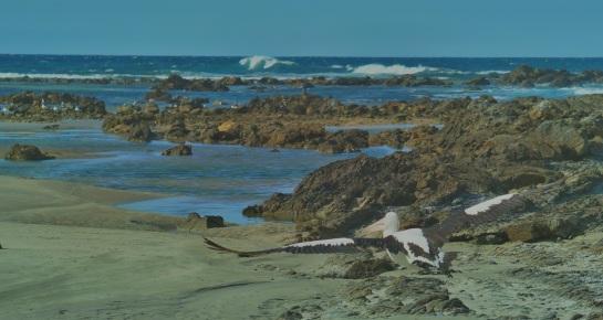 Pelicans Brooms Head 3 - Crystal River