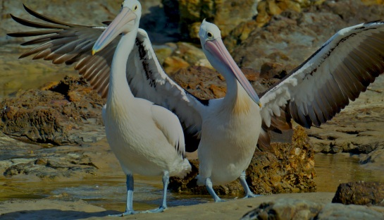 Pelicans Brooms Head 4 - Crystal River