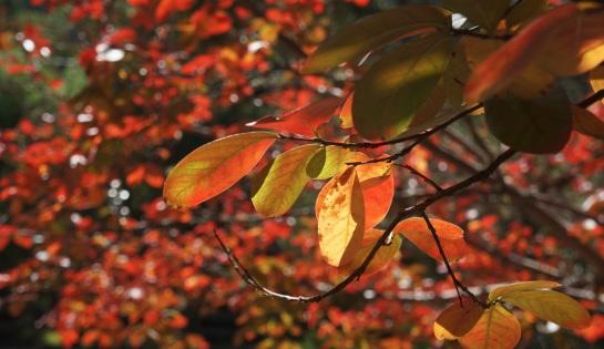 Autumn leaves - Wollombi 4 May 2016