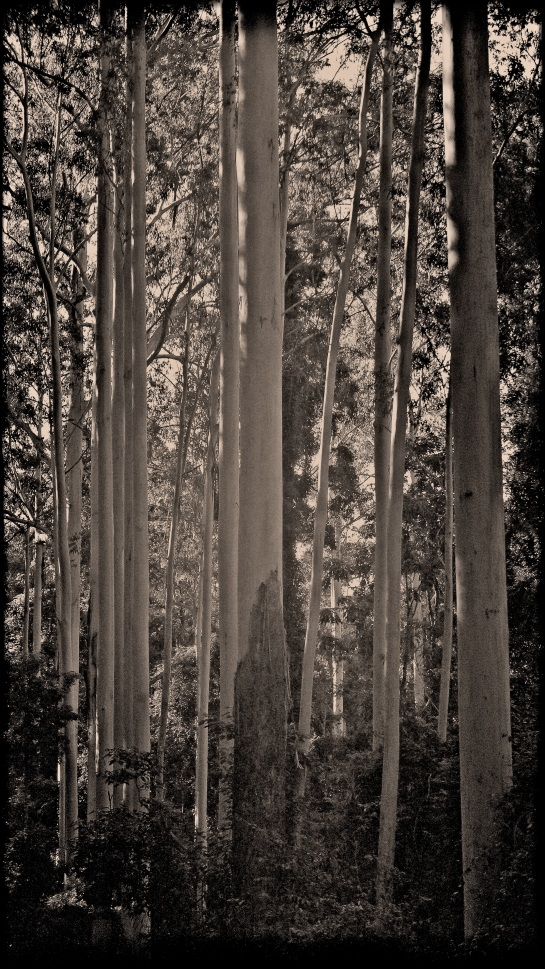 Tall trees - east of Tenterfield NSW